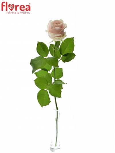 ROSA SWEET AVALANCHE+ 50cm
