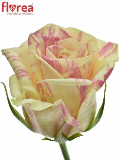 ROSA SWEET HARLEQUIN 50cm (M)