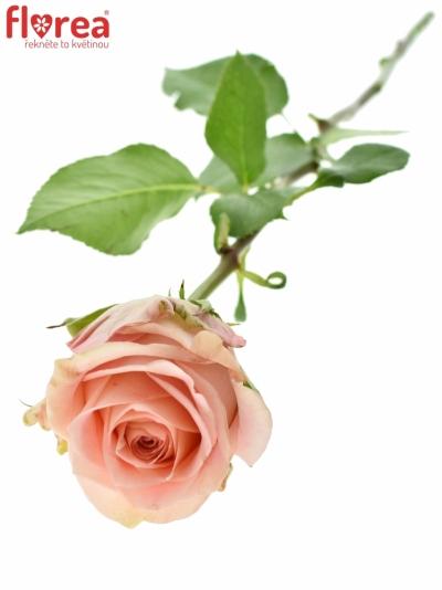 růžová růže SWEET SURRENDER
