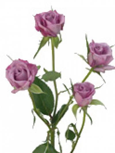 Fialová růže CLEAR OCEAN 35cm/4+