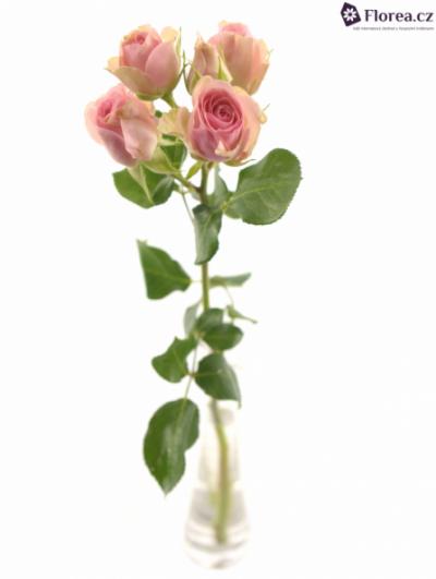 Růžová růže DINARA 70cm/9+