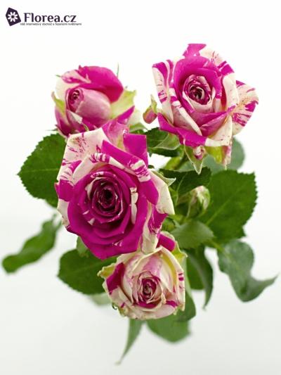 Bílorůžová růže FLASHING 50cm/5+