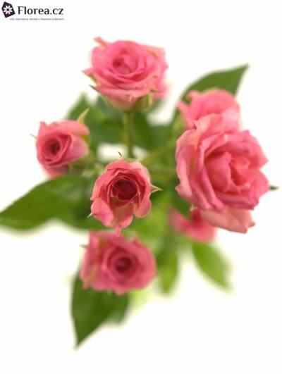 Růžová růže GRACIA 60cm/4+