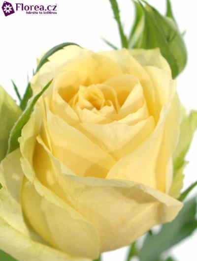 ROSA MAGIC AVALANCHE+ 50cm/5+ (L)