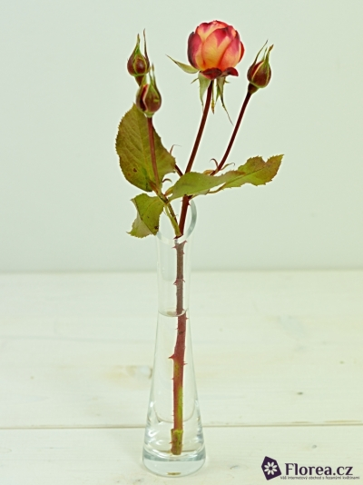 Žíhaná růže MIDSUMMER 30cm/2+