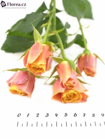 ROSA TR SONORA 70cm/7+