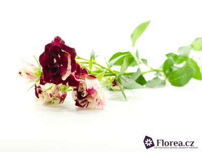 Bílorůžová růže SPARKLE GRAFFITI 40cm/4+
