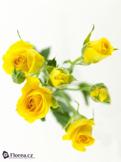 Žlutá růže SUNTANE 60cm