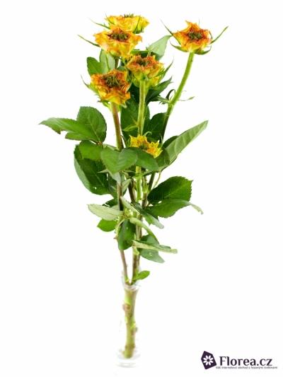 Žíhaná růže VIYELLA RED 50cm/2+