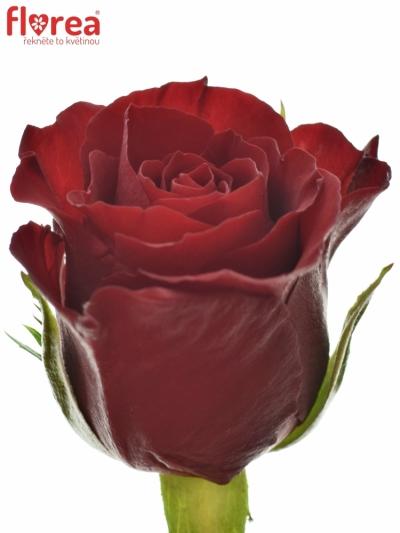 Červená růže VALENTINO 40cm (S)