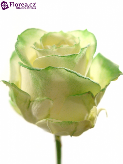 ROSA VENDELA GREEN SATIN 70cm