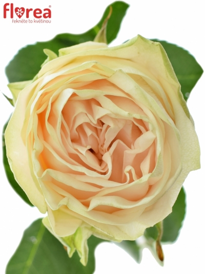 ROSA WEDDING ROSE 60cm (XL)