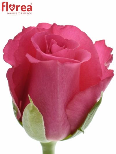 ROSA WILD CALYPSO 60cm (S)