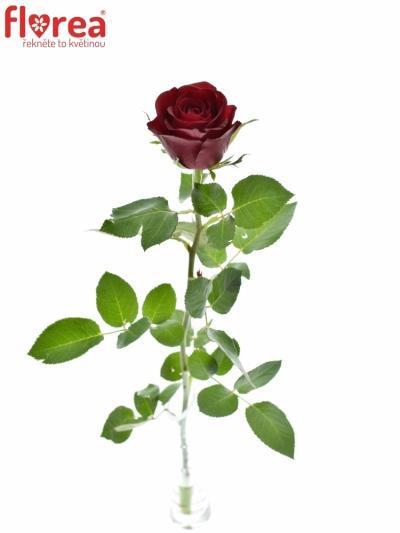 ROSA BURGUNDY 60cm (M)