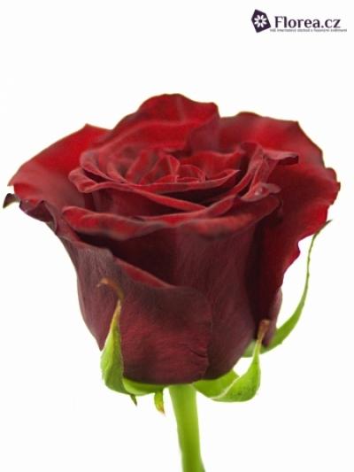 Rudá růže GRAND PRIX 60cm