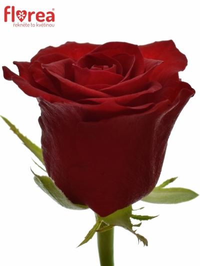 Rudá růže MYRNA+ 70cm