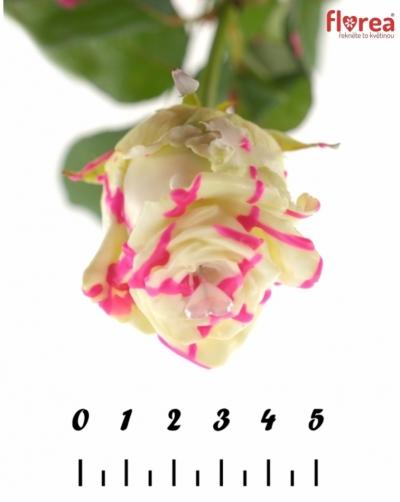 ROSA CHOCOLAT ROSEBERRY LOVE 60cm (R 304)