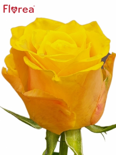 Růže TORI!