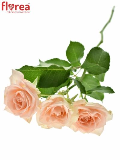 růže trsová Sweet Sara