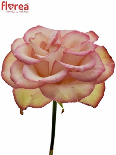ROSA CAROUSEL ILLUSION 60cm (XXL)