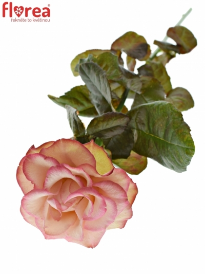 ROSA CAROUSEL ILLUSION 50cm (XXL)