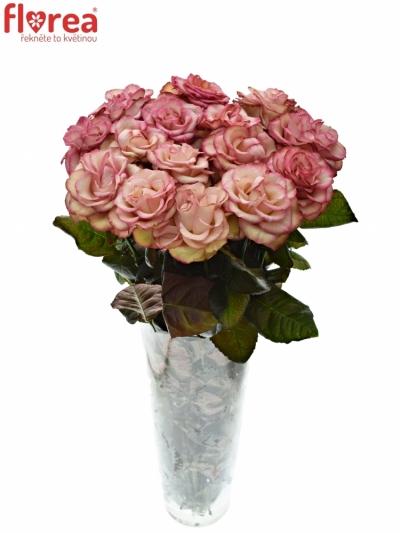 Růžová růře CAROUSEL ILLUSION 60cm (XXL)