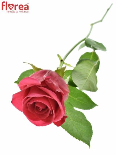 Růžová růže  HOTSHOT 60cm (L)