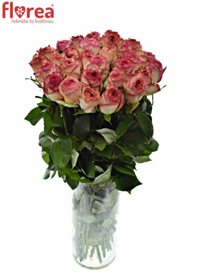 Růžová růže ABSTRACT 70cm (L)