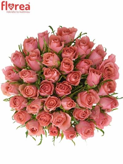 Růžová růže ACE PINK