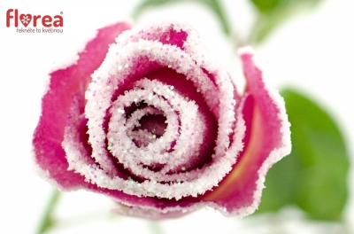 Růžová růže ACE PINK FROST 50cm