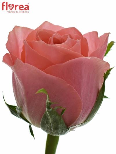 Růžová růže ACE PINK 60cm (M)
