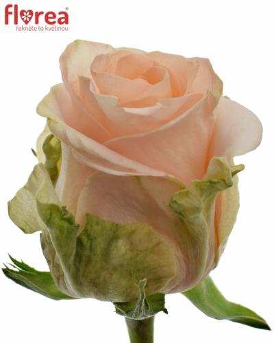 Růžová růže ALINA 50cm (L)