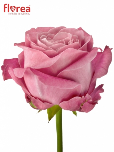 ROSA ALL 4 LOVE+ 90cm (XXL)