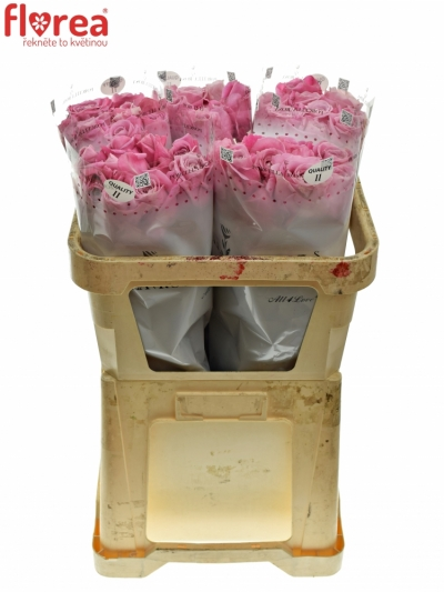 ROSA ALL 4 LOVE+ 60cm (XL)