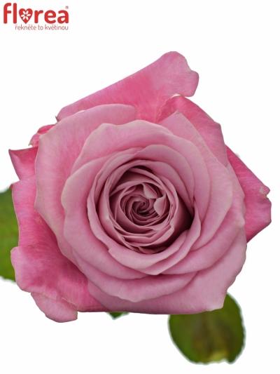 ROSA ALL 4 LOVE+ 90cm (XXL)