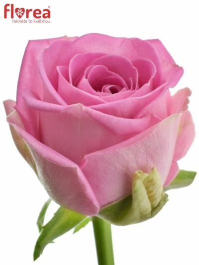 Růžová růže AQUA 60cm (M)