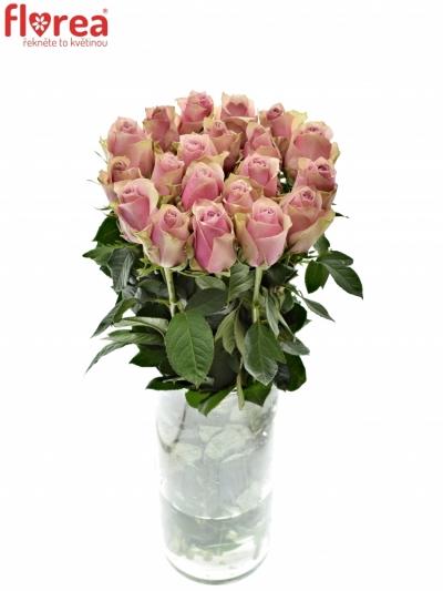 Růžová růže ATHENA ROYALE 80cm (L)