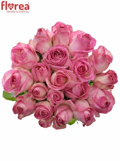 Růžová růže AVALANCHE CANDY+