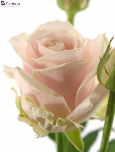 Růžová růže AVALANCHE SORBET 70cm/3+