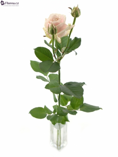 ROSA TR AVALANCHE SWEET 70cm/3+