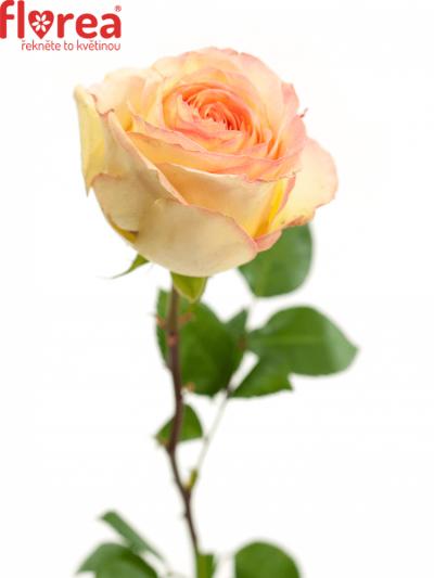 Růžová růže AVE MARIA SUMMERHOUSE 40cm (L)