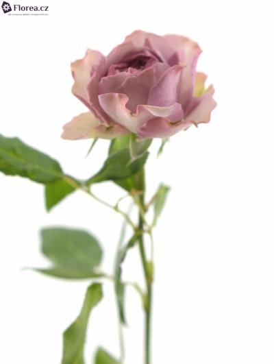 ROSA TR BARONESSE FREILAND 25cm/3+