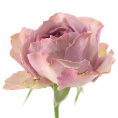 Růžová růže BARONE FREILAND 25cm/3+ (M)