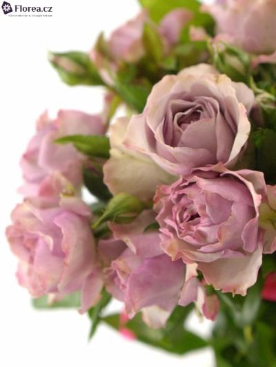 Růžová růže BARONE FREILAND