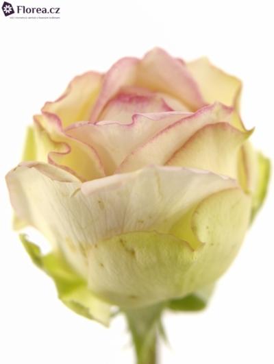 Růžová růže BIEDERMEIER 25cm/2+