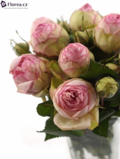 Růžová růže BIEDERMEIER