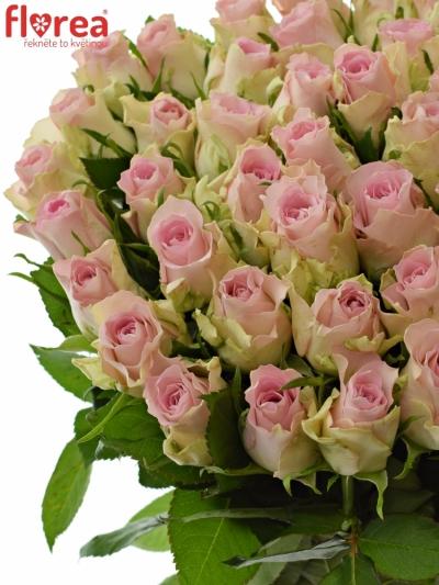 Růžová růže BISOU 70cm