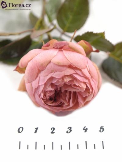 ROSA TR BRIDAL PIANO 25cm/2+