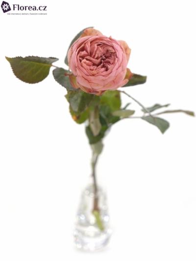 Růžová růže BRIDAL PIANO