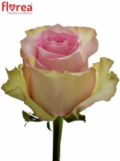 ROSA BRIGITTE BARDOT 90cm (XXL)